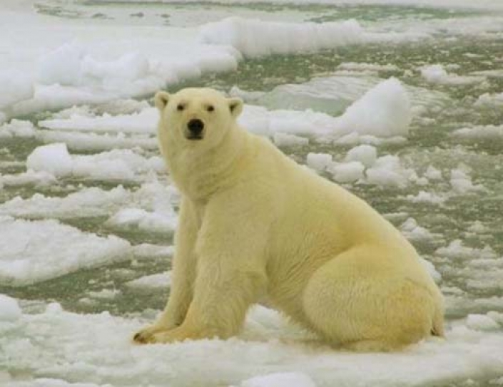 It May Be Even Worse For The Polar Bears Than Previously Thought